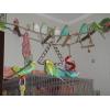 Волнистые попугаи(Птенцы)