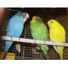 Волнистые попугайчики птенцы