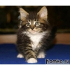 возьму в хорошие руки или куплю недорого котенка мейн-куна