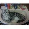 Вязка мраморный британский кот приглашает кошечек