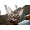 """Высокопородные Абиссинские котята \""""FireKitty\"""""""