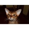 """Высокопородные Абиссинские котята """"FireKitty""""."""