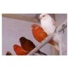 Яркие цветные канарейки с хорошей песней