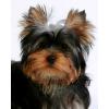 ЙОРКа,  щенка йоркширского терьера,  купить в питомнике
