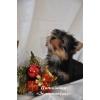 Йоркширский терьер щенки с кукольными мордочками беби фейс