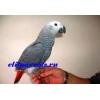 Жако - абсолютно ручные птенцы из питомников ФРГ.  Документы CITES