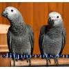 Жако - птенцы выкормыши из московского питомника Элитпопугай.