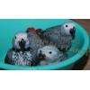 Жако краснохвостый - лучшие птенцы говоруны из нашего питомника