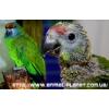 Желтоплечий синелобый Амазон – полностью ручные птенцы