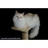Невский маскарадный котик красного окраса