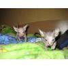 лысые кожанные котята сфинксы резинки Peterbald доставка по России