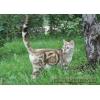 Очаровательная молодая бенгальская кошка редкого снежного мраморного окраса