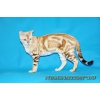 Очаровательная молодая бенгальская кошка редкого снежного мраморного окраса шоу класса