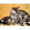 Очаровательные БЕНГАЛЬСКИЕ котята