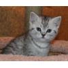 Очаровательные британские котята тэбби окрасов