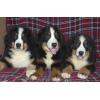 Очаровательные щенки Бернского Зенненхунда