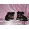 Очаровательные щенки Йоркширского терьера мини и стандарт