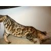 Очень большой выбор Бенгальских красивых котят.