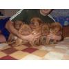 Продаются щенки Бордоского дога с отличной родословной