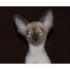 Ориентальный сиамский котенок