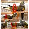 Патагонский попугай - ручные птенцы.