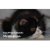 Персидская кошечка Моника