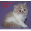 Персидские котята открыты для резервирования