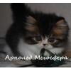 Персидский котик Арнольд