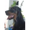 Перспективный щенок добермана