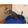петербургские сфинксы-котята