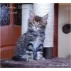 Питомник предлагает котят породы мейн-кун