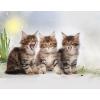 Питомник предлагает котят породы мэйн-кун