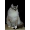 Подрощенные невские маскарадные котята