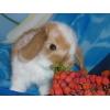 Породистые вислоухие кролики-крольчата