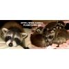 Предлагаем полностью ручных щенков енота полоскуна