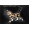 Предлагаются к продаже очаровательные бенгальские котята,  рожденные 02. 07. 2013.