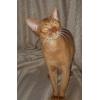 Продается абиссинский котик