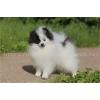 Продается щенок шпица,  девочка редкого бело-черного (пати-колорного)  окраса