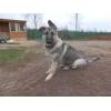 Продается щенок восточно-европейской овчарки