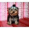 Продается щенок Йоркширского терьера