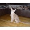 Продам Абессинского кота
