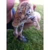 Продам амурских тигрят.