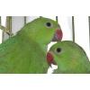 Продам ожереловых попугаев и др.