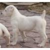 Продам щенка алабая (среднеазиатская овчарка,  Сао,  азиатская овчарка,  азиат)