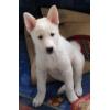 Продам щенка Западно-Сибирской лайки