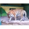Продам семью тигров.