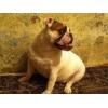продам собаку породы английский бульдог