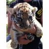 Продам тигренка.