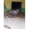 Продам тигрят