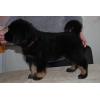 Продаю щенков Тибетского мастифа